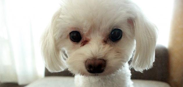 犬の涙やけのケア方法!5つの原因から探ったおすすめサプリメントはこれだ